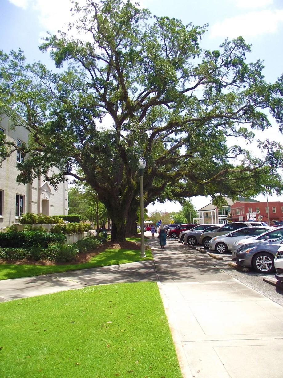 Beautiful Oak Tree Bay Minette AL